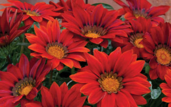 Gazania 'Red Shades' (Treasure Flower)
