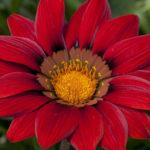 Gazania 'Red Shades' (Treasure Flower)