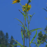 Helianthus californicus (California Sunflower)