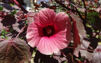 Hibiscus acetosella (Cranberry Hibiscus)