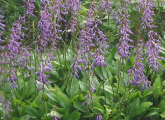 Hosta clausa (Plantain Lily)