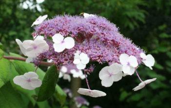 Hydrangea aspera (Rough-leaved Hydrangea)