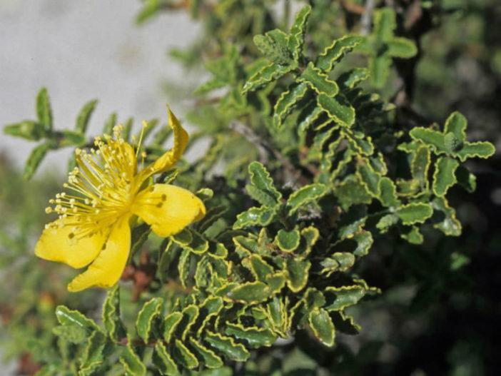 Hypericum balearicum (Majorca St. John's Wort)