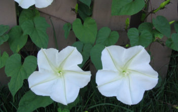 Ipomoea alba (Moonflower)