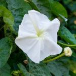 Ipomoea alba (Moonflower)