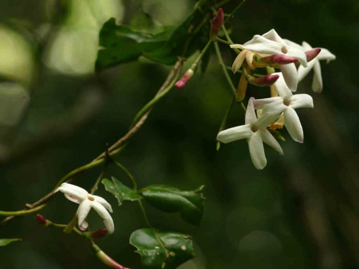 Jasminum abyssinicum (Forest Jasmine)