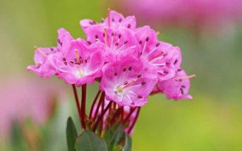 Kalmia microphylla (Alpine Laurel)