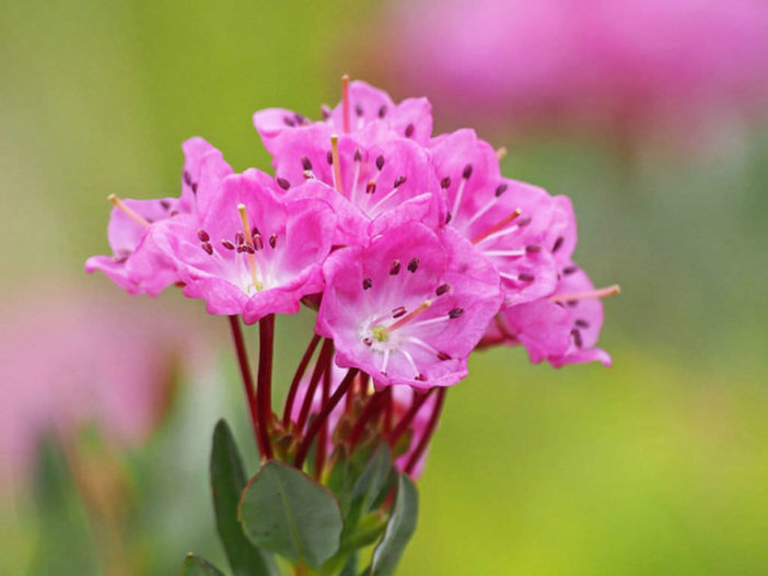 Kalmia microphylla (Alpine Laurel)