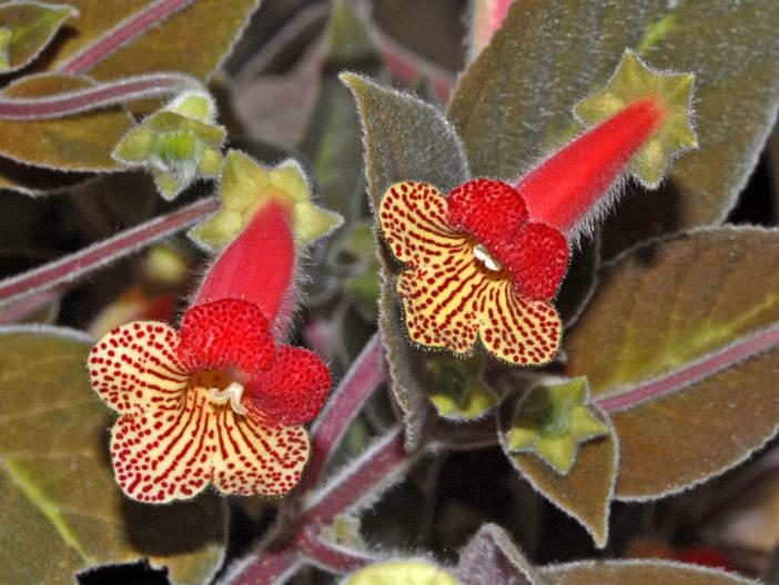 Kohleria amabilis var. bogotensis (Tree Gloxinia)
