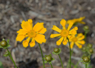 Coreopsis auriculata 'Zamphir' (Ear-leaved Tickseed)