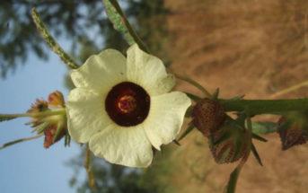 Hibiscus asper (Bush Roselle)