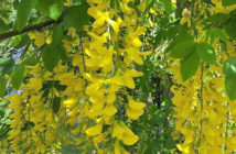 Laburnum x watereri 'Vossii' (Golden Chain Tree)