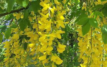 Laburnum x watereri 'Vossii' (Golden Chain Tree)