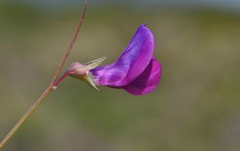 Lathyrus angulatus (Angled Pea)