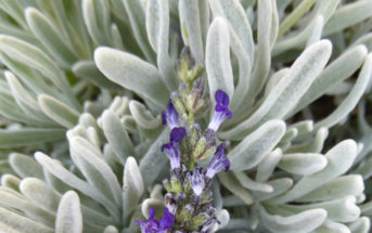 Lavandula lanata (Woolly Lavender)