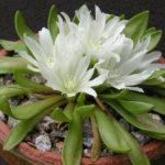 Lewisia brachycalyx (Short Sepaled Lewisia)
