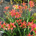 Lilium catesbaei (Catesby's Lily)