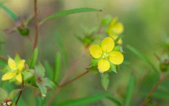 Ludwigia alternifolia (Seedbox)