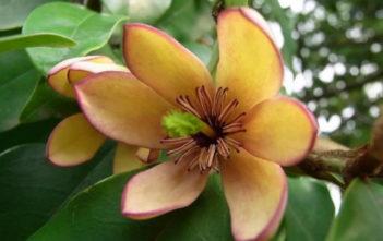 Magnolia figo (Banana Shrub)