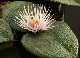 Massonia pustulata (Blistered Massonia)