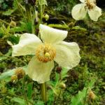 Meconopsis autumnalis (Nepalese Autumn Poppy)