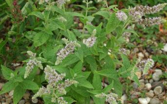 Mentha longifolia (Horse Mint)