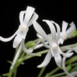 Vanda falcata (Wind Orchid)
