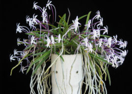 How to Grow and Care for a Wind Orchid
