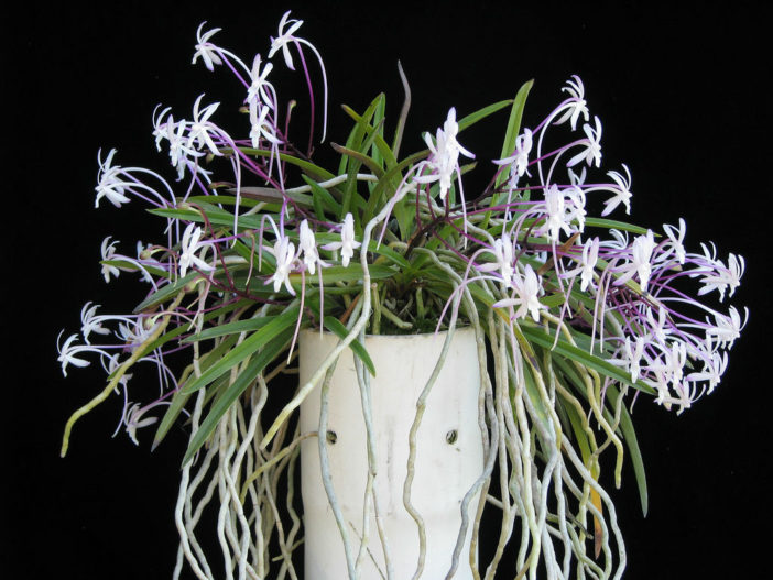 Grow and Care Wind Orchid