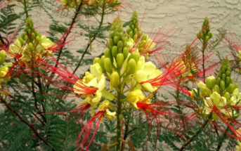 Caesalpinia gilliesii (Bird of Paradise Bush)
