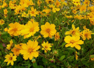 Coreopsis auriculata 'Elfin Gold' (Dwarf Mouse-ear Tickseed)