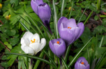 Crocus vernus (Dutch Crocus)