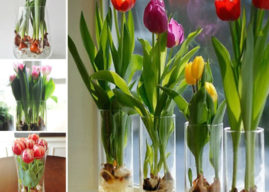How to Grow Tulips in Water