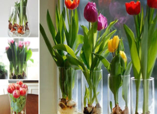 Grow Tulips in Water