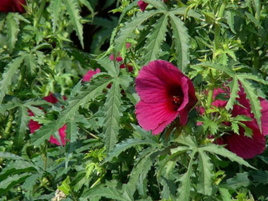 Hibiscus Cannabinus Kenaf World Of Flowering Plants