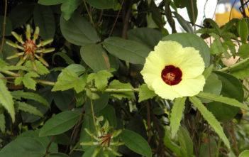 Hibiscus surattensis (Wild Sour)