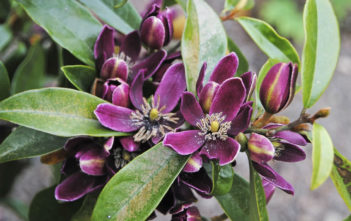 Magnolia figo 'Purple Queen' (Banana Shrub)