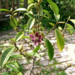Magnolia figo 'Purple Queen' (Banana Shrub)