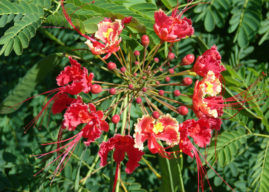 How to Grow and Care for Caesalpinia