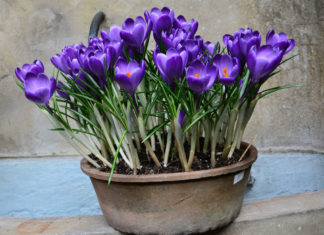 Crocus Indoors