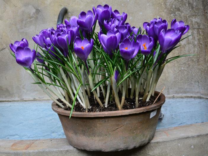 Force Crocus to Bloom Indoors