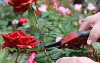Deadhead Roses