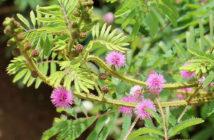 Mimosa diplotricha (Giant Sensitive Plant)