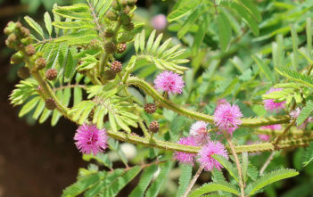 Mimosa diplotricha (Giant Sensitive Plant)