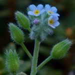 Myosotis arvensis (Field Forget-me-not)