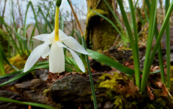 Narcissus triandrus (Angel's Tears)