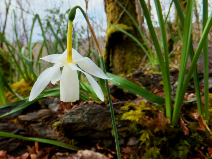 Narcissus triandrus (Angel's Tears)