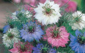 Nigella damascena 'Persian Jewels' (Love-in-a-mist)