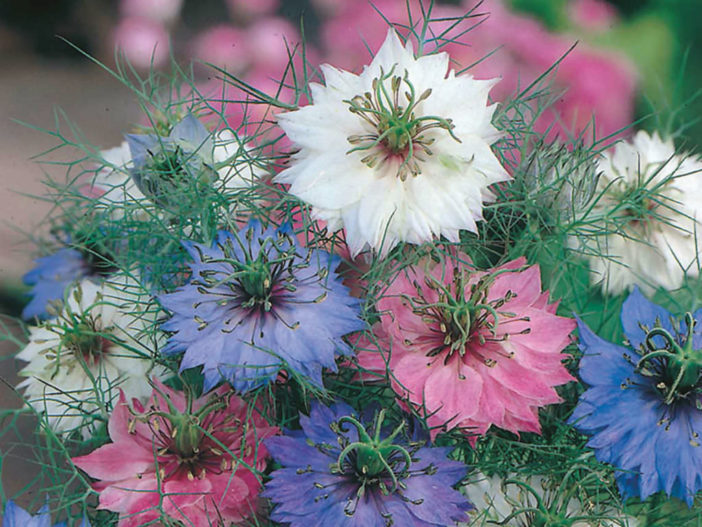 Nigella damascena 'Persian Jewels' (Love-in-a-mist)