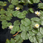 Nymphaea candida (Dwarf White Water Lily)
